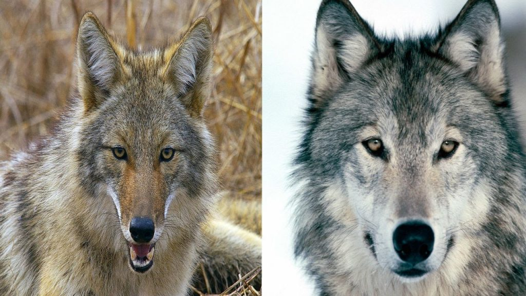 difference between coyotes and wolves